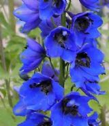 Delphinium Blue Jay -  Appx 30 seed